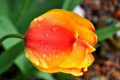 Un cierre para arriba de una cabeza anaranjada roja amarilla del tulipán con gotas de lluvia y del rocío en los pétalos Imagen de archivo