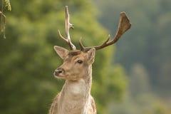 Un cierre para arriba de una cabeza del ` s de los ciervos en barbecho fotografía de archivo libre de regalías