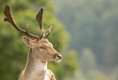 Un cierre para arriba de una cabeza del ` s de los ciervos en barbecho fotos de archivo libres de regalías
