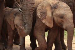 Un cierre para arriba de una manada de elefantes Imagenes de archivo