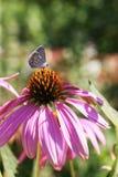 Un cierre para arriba de una mariposa preciosa que se sienta en una flor púrpura hermosa en un día soleado imagenes de archivo