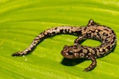 Un cierre para arriba de una salamandra del ` s de Weller Foto de archivo libre de regalías