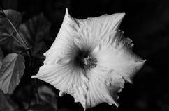 Un cierre para arriba de una sola flor blanca que muestra la delicadeza de los pétalos en blanco y negro imagenes de archivo