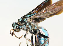 Un cierre para arriba de una tarántula Hawk Wasp Imagen de archivo