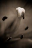Un cierre para arriba del estigma de la flor del lirio Imagen de archivo