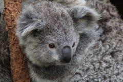 un cierre para arriba del pequeño koala Foto de archivo