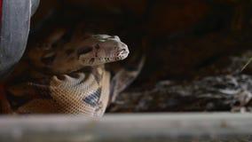 Un cierre para arriba del serpientes cara, ojos, y lengua Retrato de la boa mperial almacen de video