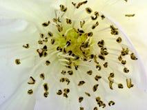 Un cierre para arriba sobre una rosa blanca Fotos de archivo libres de regalías