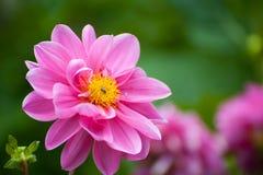 Un cierre rosado brillante de la dalia de la flor para arriba Imagen de archivo libre de regalías