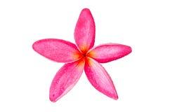 Un cierre rosado de la flor del frangipani para arriba Imagen de archivo