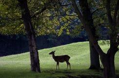 Un ciervo Fotos de archivo