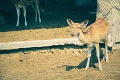 Un ciervo aspotted caminó en el parque zoológico foto de archivo