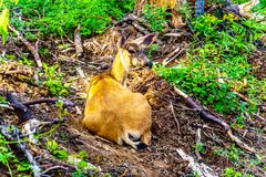 Un ciervo atado negro en Tod Mountain en A.C. Canadá imágenes de archivo libres de regalías