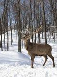 Un ciervo común aislado en el fondo blanco que alimenta en el invierno nieva en Canadá imágenes de archivo libres de regalías