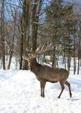 Un ciervo común aislado en el fondo blanco que alimenta en el invierno nieva en Canadá foto de archivo
