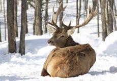 Un ciervo común en el fondo blanco que alimenta en la nieve del invierno en Canadá foto de archivo