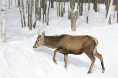 Un ciervo común en el fondo blanco que alimenta en la nieve del invierno en Canadá imagenes de archivo