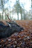 Un ciervo de cuernos en otoño Foto de archivo libre de regalías