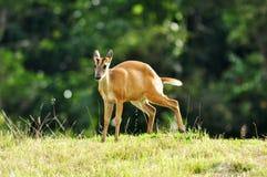 Un ciervo de descortezamiento en el parque nacional de Khao Yai Fotos de archivo