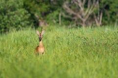 Un ciervo de huevas en alta hierba imagen de archivo