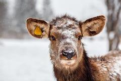 Un ciervo de la reserva natural estricta de Visim en Rusia imagen de archivo libre de regalías