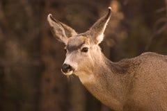 Un ciervo de mula femenino Imagen de archivo