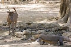 Un ciervo de Timor mira un dragón de Komodo Imagenes de archivo