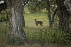 Un ciervo del bebé del Whitetail mira fijamente detrás foto de archivo