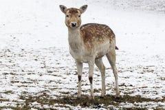 Un ciervo en barbecho femenino bastante joven se está colocando en la nieve en un prado fotos de archivo libres de regalías