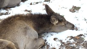 Un ciervo en barbecho joven miente en la naturaleza en la nieve, primer, dama del Cervus, 4K almacen de metraje de vídeo