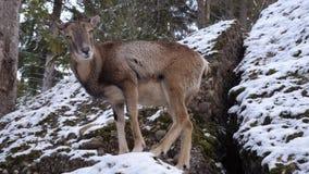 Un ciervo en fauna almacen de video