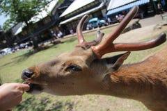 Un ciervo está alimentando por la gente en parque Fotos de archivo