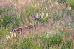 Un ciervo femenino de Sika Foto de archivo libre de regalías