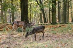 Un ciervo joven en el parque de castillo de Blatna República Checa imagen de archivo