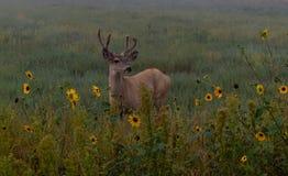 Un ciervo mula joven Buck Among Sunflowers imagenes de archivo