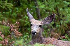 Un ciervo mula joven mira encendido imagenes de archivo