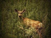 Un ciervo mula mira del cepillo del verano en Colorado meridional Fotografía de archivo