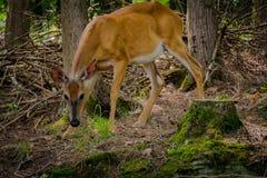 Un ciervo que busca la comida Imagen de archivo libre de regalías