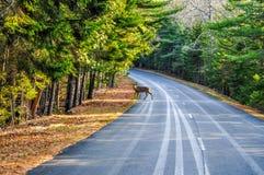 Un ciervo que cruza el camino en parque nacional de la Arcadia imagen de archivo