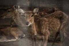 Un ciervo que mira la cámara Imagenes de archivo