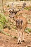 Un ciervo rojo en las maderas Foto de archivo