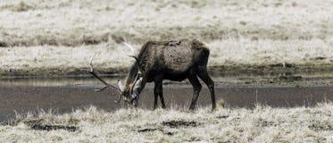 Un ciervo viejo dejado solo en las montañas escocesas salvajes fotografía de archivo