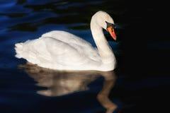 Un cigno bianco Immagini Stock