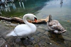 Un cigno bianco e un cigno grigio Fotografie Stock