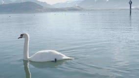 Un cigno bianco sta nuotando su un lago stock footage