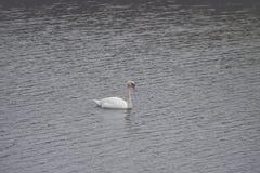Un cigno bianco sta nuotando sul lago fotografia stock