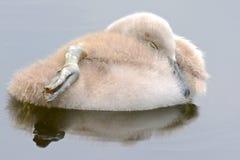 Un cigno che dorme sull'acqua fotografie stock