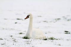 Un cigno che si siede nella neve Immagine Stock