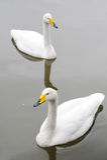 Un cigno di due bianchi Immagini Stock Libere da Diritti