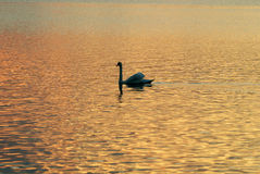 Un cigno in lago Immagine Stock